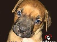 Boxer Pup Norman's story Norman, the baby Boxer mix,