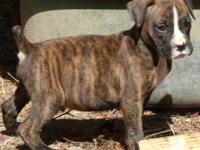 AKC registered Boxer Puppies. Vet checked, vaccinated,