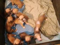 Litter of 9. First litter, tails and dew claws done.