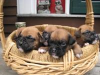 We have a new litter of adorable boxer puppies that