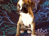 A.K.C Registered Boxer Pups these are beautiful puppies