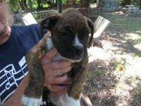 1 Fully Sealed Brindle Male for $1,000. 1 Brindle Male