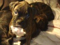 Beautiful AKC Registered Boxer Puppies, 3 Beautiful