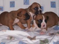 Beautiful AKC Registered Boxer puppies. Brindles and
