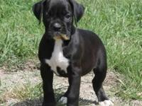 I have 4 gorgeous Boxer young puppies up for adoption.
