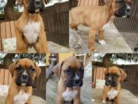 Hi, we are looking to rehome our 4 male purebred boxer