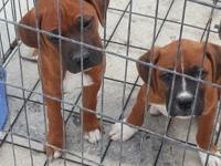 Hi I have two beautiful males boxer puppies 10 weeks