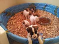 We have just had a litter of Full Stock Fawn boxer