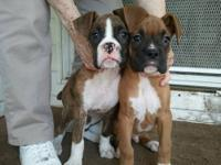 One brindle female Boxer puppy left who is 11 weeks old