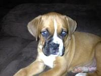 Purebred Boxer puppies (fawn and brendles); Born