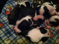 Full blooded beautiful boxer puppies!! They are 12