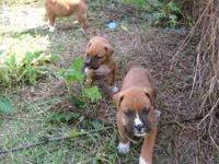 I have 3 fawn puppies. dad is full boxer mom is 3/4