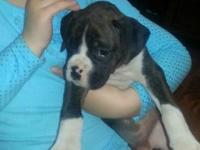 Pure bred Boxer puppies for sale; they were born