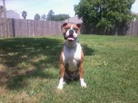 boxer puppies for sale $400 O.B.O. first vacines tail