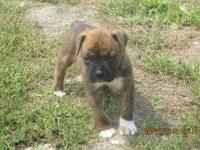 All Brindle in color, males and females. They have had