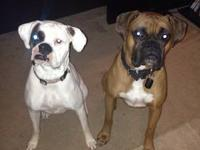 Akc reg. boxer pups for sale, 4 boys and 3 girls,