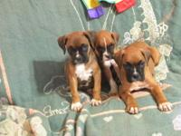 I have boxer puppies for sale, I have been raising