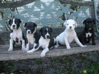 CKC Reg. Black and White Boxer puppies. Born 8/24/13- 6
