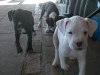 Hi, I have beautiful boxer puppies 5 in total. 2