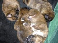 Just in time for Christmas 3 male 1 female Brindle