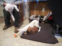 Cute and playful Boxer puppies, Purebred. They have
