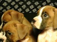 Now available Purebred Boxer puppies. Very healthy and