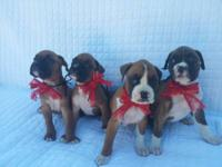 We have 3 pure breed boxer puppies that were born on