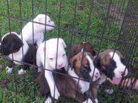 FULL BLOODED CKC Boxer pups available. They are being