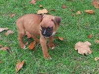 We have an awesome litter of boxer puppies for sale.