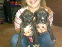 Adorable boxer puppies will be ready Jan.3rd. Boxers