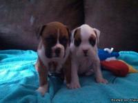 I have 2 males and 2 female boxer puppies.. They are
