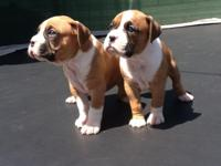 Beautiful boxer puppies nice big head grate stance