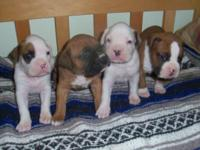 Hello there i have purebreed boxer young puppies 2