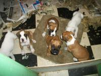 I have 4 boxer young puppies for sale. They were born