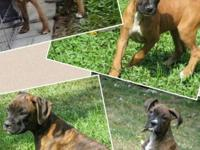 I have one brindle male (300.00) and 2 brindle/one fawn