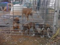 PUREBREED BOXER PUPPIES SHOTS, TAILS AND WORMED 2 FAWN