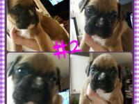 AKC boxers. There is just 3 females left. Born upon