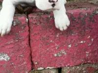 Fighter young puppies (almost purebred), 11 weeks old,