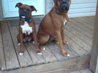 5 Boxer Puppies for Sale. 2 Females 3 Males all Fawn
