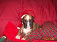 CKC Boxer puppies. Champ bloodlines.Tails docked and