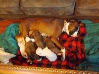 CKC boxer puppies borm 12/24/2014 Tail & dew claw