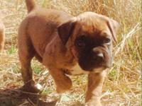 AKC registered Boxer puppies for sale both male and
