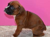 Beautiful Boxer Puppies for Sale! They were born March