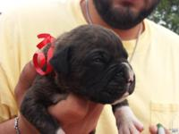AKC BOXER PUPPIES will be ready for their new home