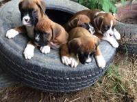 AKC Boxer puppies! Full registration. Serious inquiries