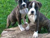 We have 9 boxer puppies for sale! There are 4 males and