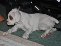Boxer Puppies $600 pure breed without papers 1 fawn
