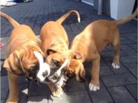 Registered boxer puppies ready July 5th at 12 weeks