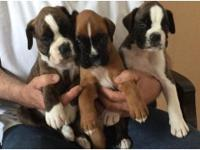 Boxer puppies ready July 18th at 12 weeks old. Current