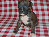 I have registered boxer puppies ready for new homes Aug